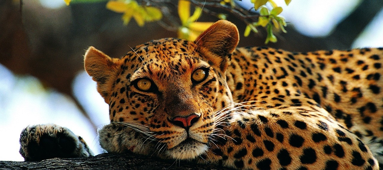 leopard-on-tree2